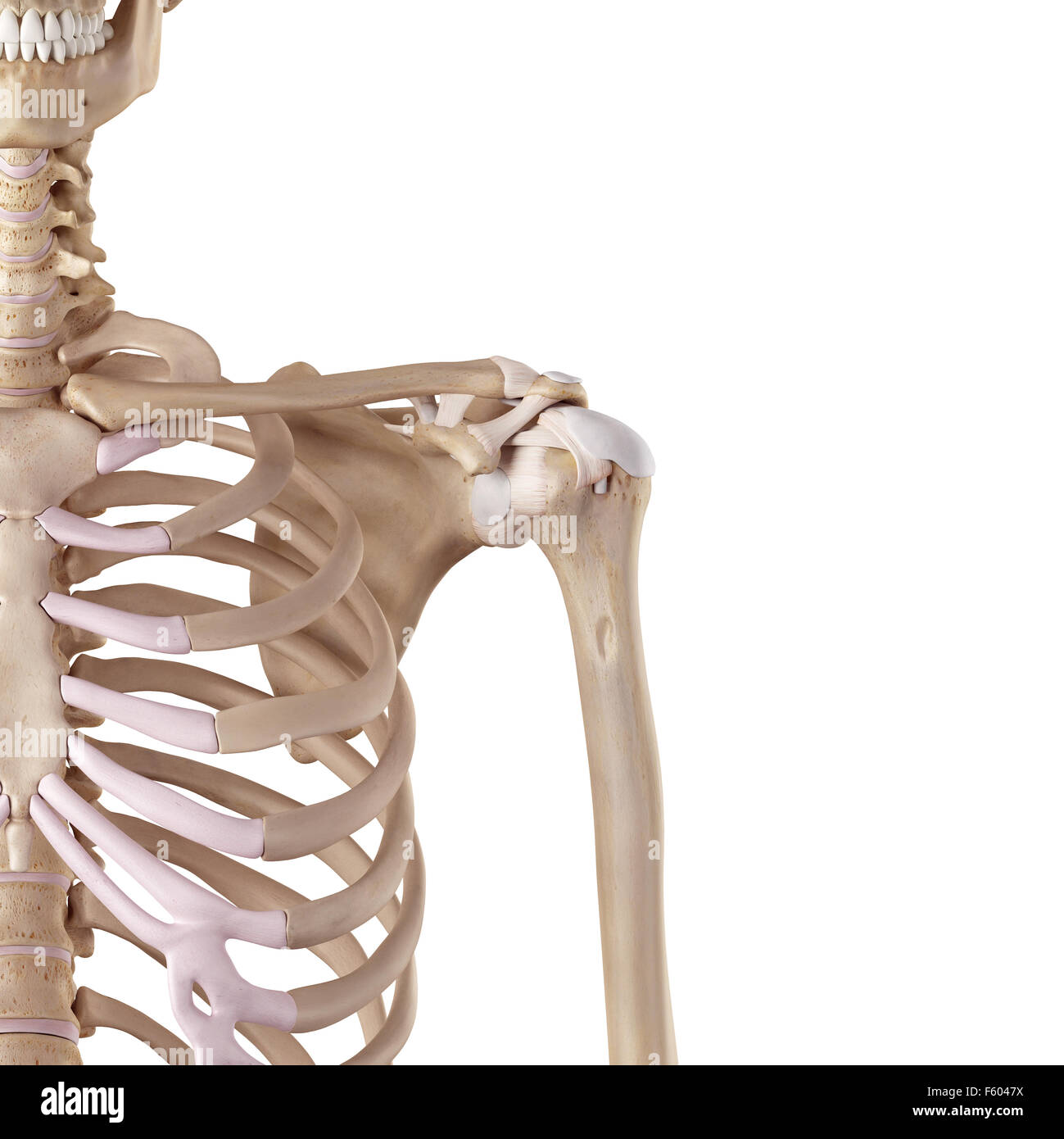 Medical Accurate Illustration Of The Shoulder Ligaments Stock Photo
