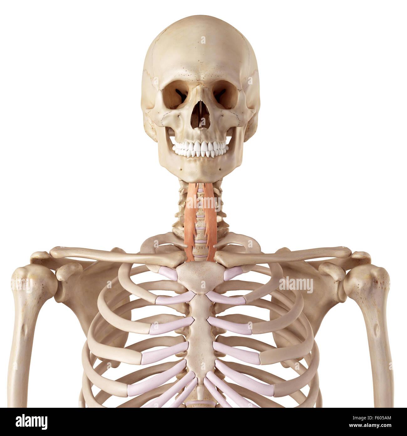 Wunderbar Hals Dreieck Anatomie Galerie - Menschliche Anatomie ...