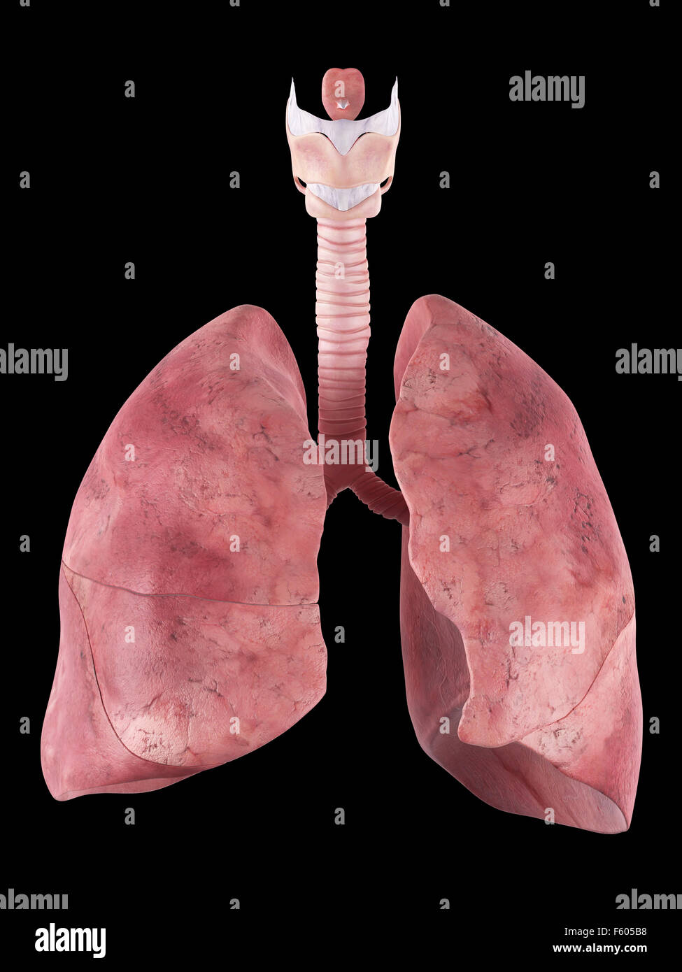 medically accurate illustration of the human lung - Stock Image