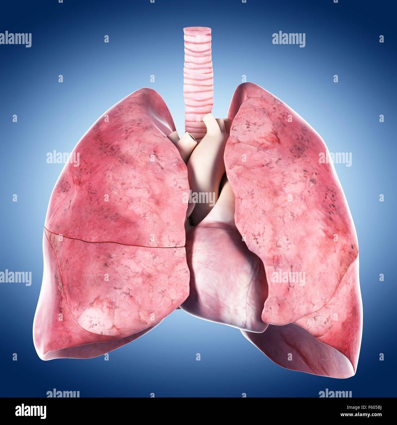 medically accurate illustration of the heart and lung - Stock Image