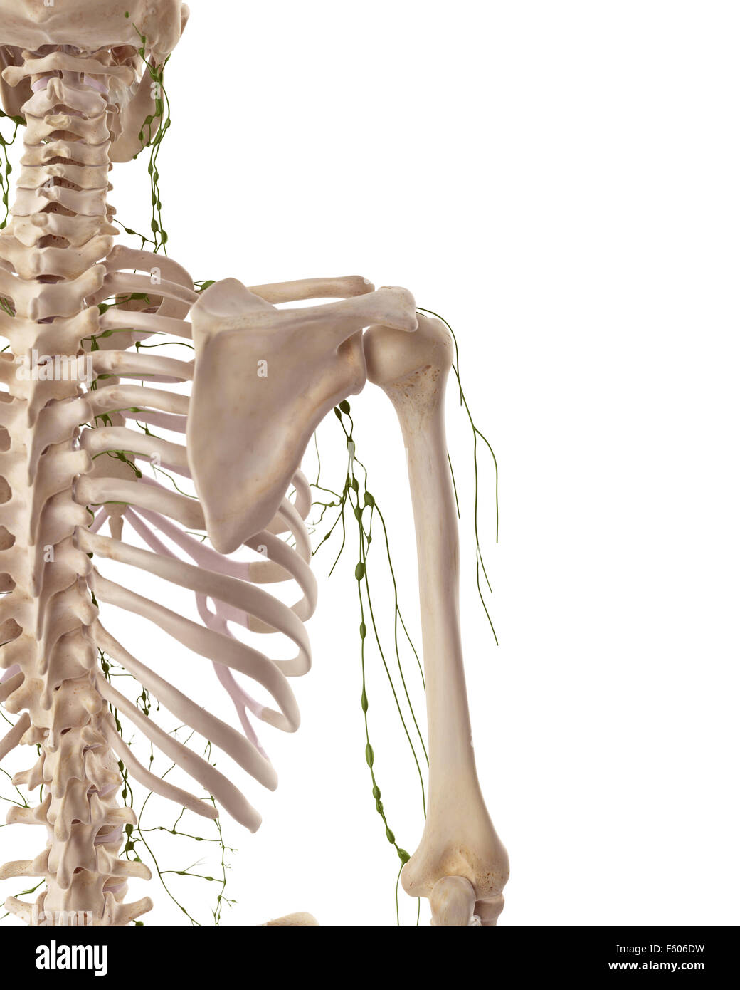 Medically Accurate Illustration Of The Axillary Lymph Nodes Stock