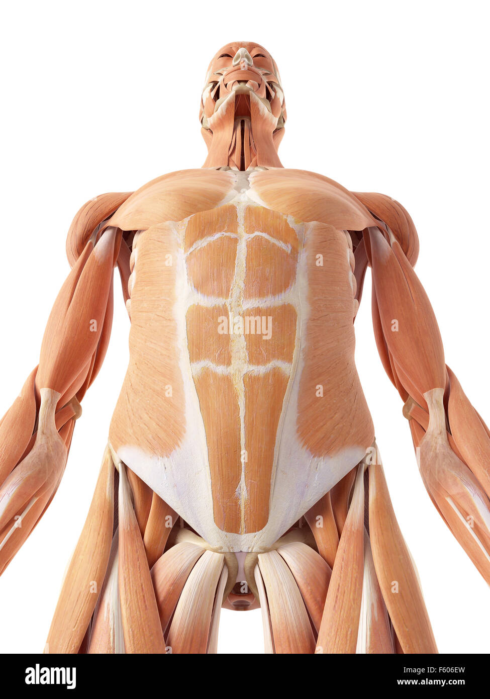 medical accurate illustration of the abdominal muscles - Stock Image