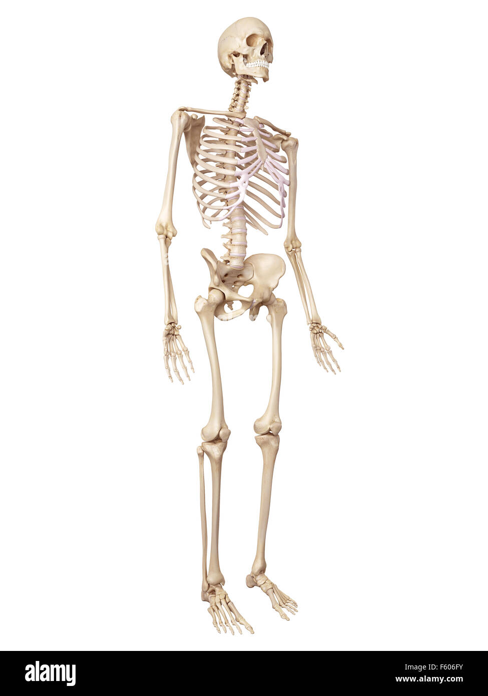 Human Skeleton Stock Photos Human Skeleton Stock Images Alamy