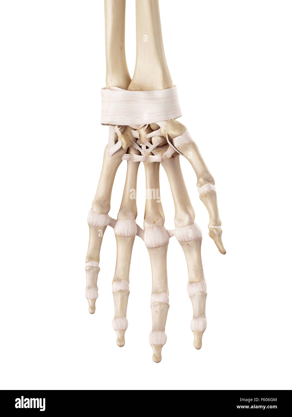 Medical Accurate Illustration Of The Hand Ligaments Stock Photo