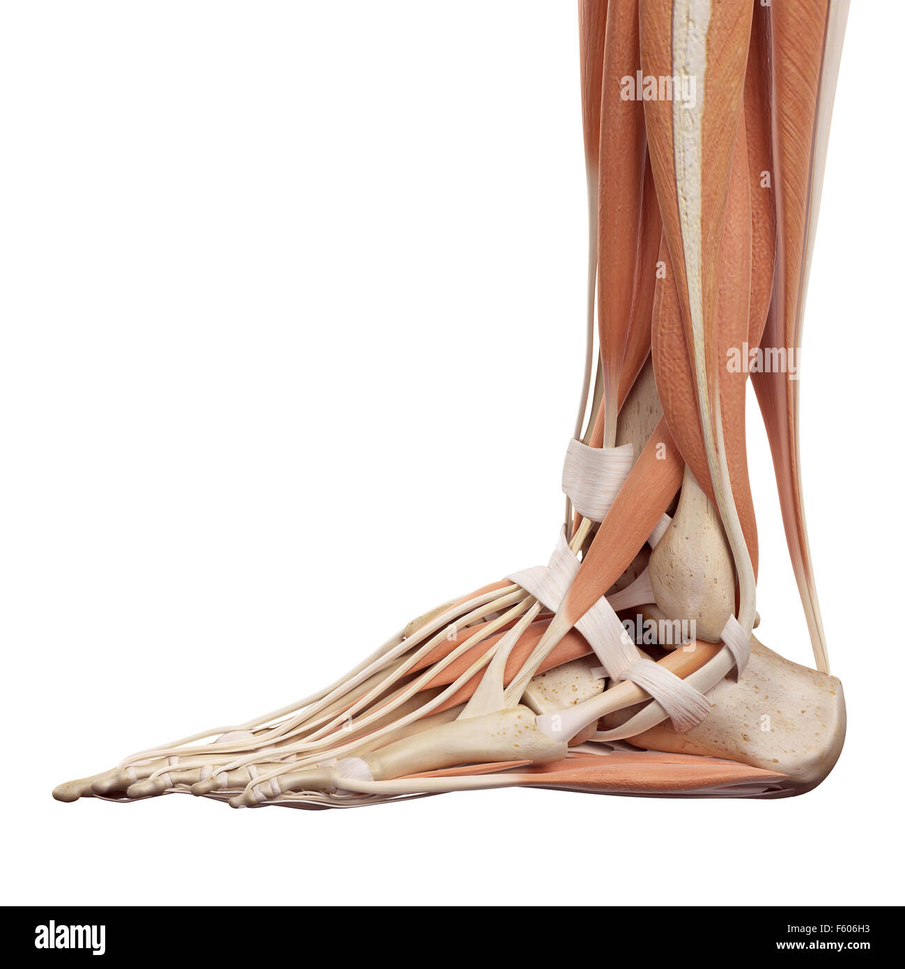 Foot Muscles Stock Photos Foot Muscles Stock Images Alamy