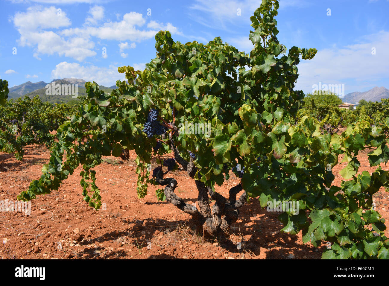 Vineyard in wine producing area of the Jalon Valley, Alicante Province, Spain. - Stock Image