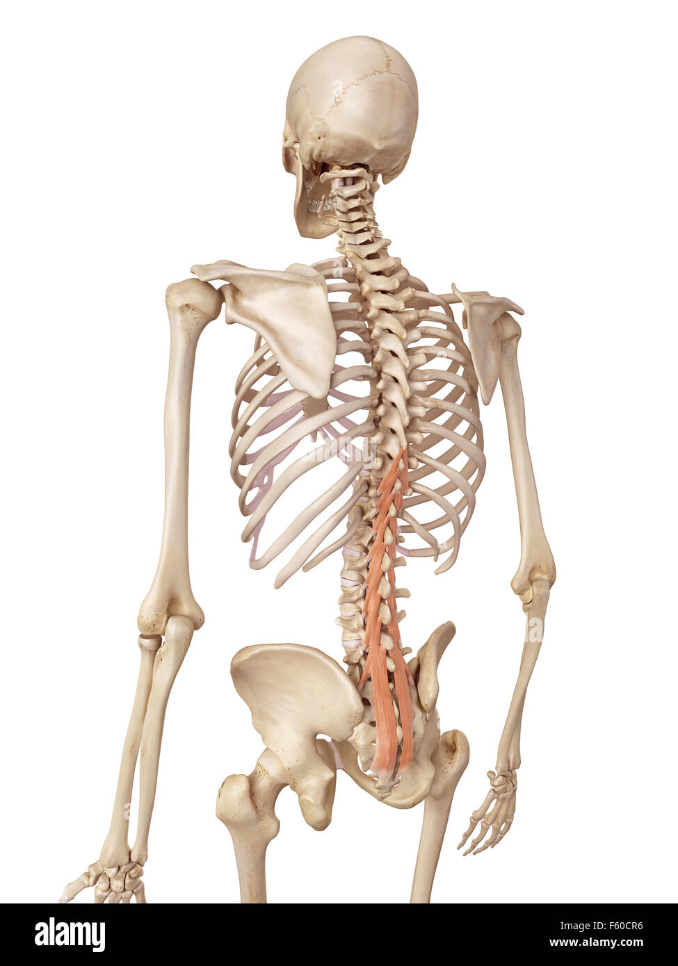 medical accurate illustration of the multifidus - Stock Image
