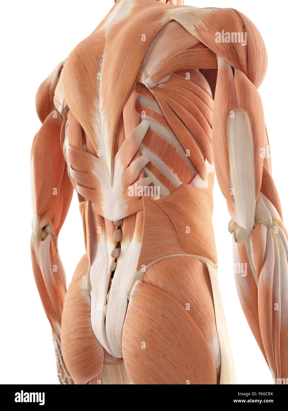 Back Musculature Stock Photos & Back Musculature Stock Images - Alamy