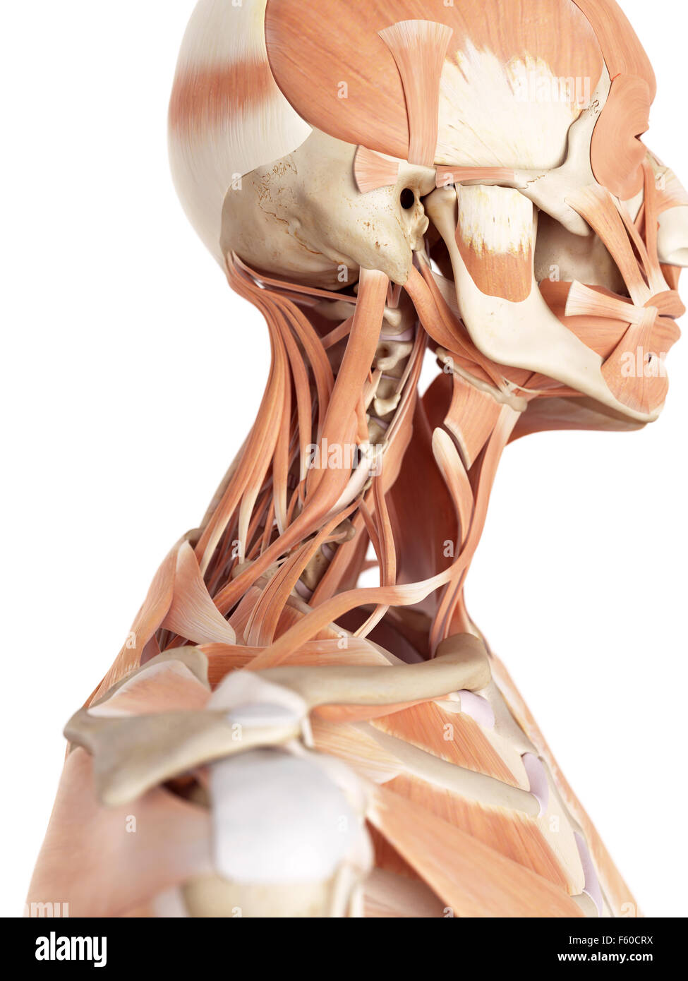Neck Muscles Stock Photos Neck Muscles Stock Images Alamy