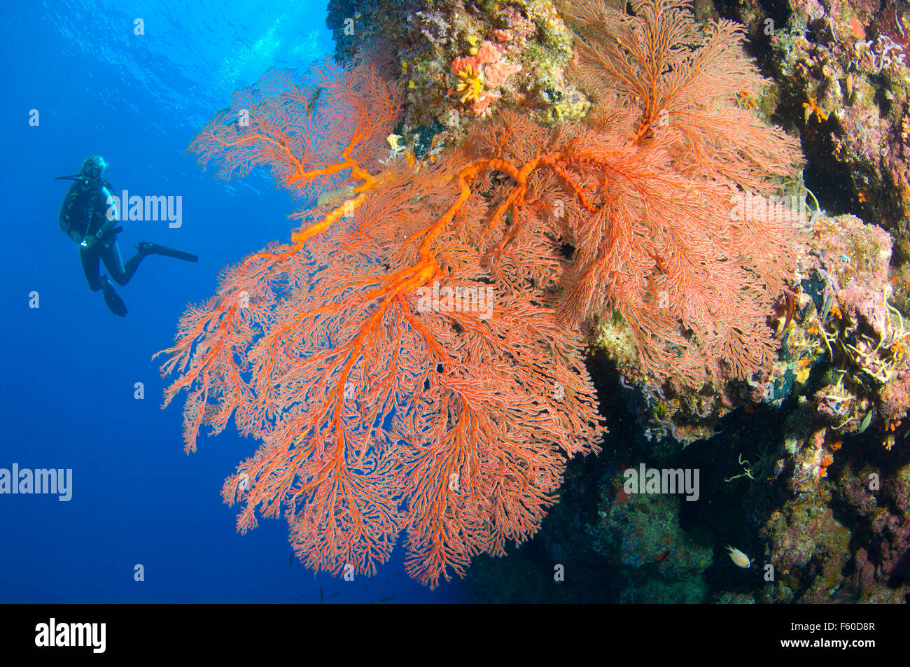 Sea fans and diver - Stock Image