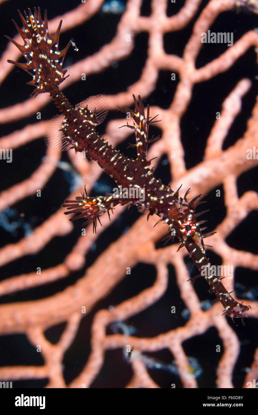 Ornate ghostpipefish - Stock Image