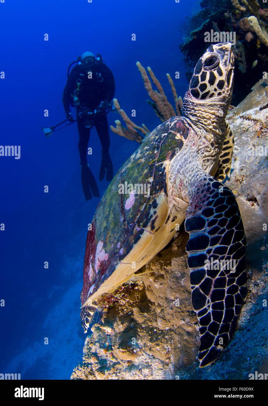 Hawksbill turtle - Stock Image