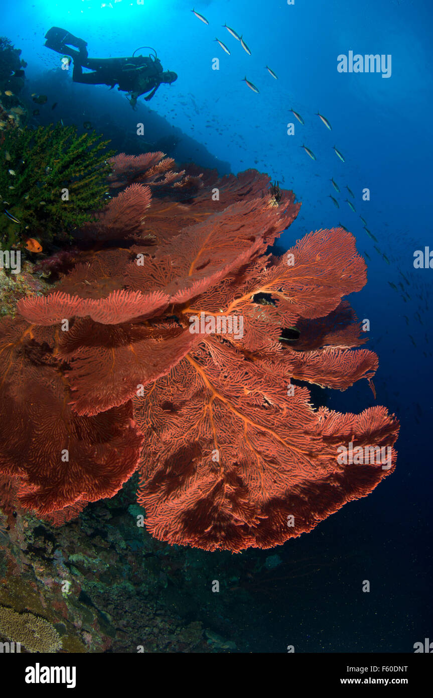 Sea fans and diver Stock Photo
