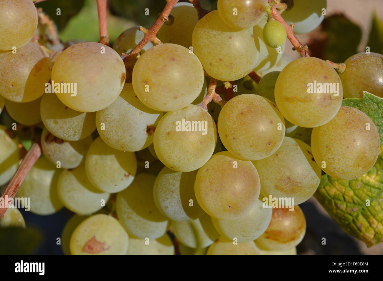Muscat grapes ripening on the vine. Spain Stock Photo