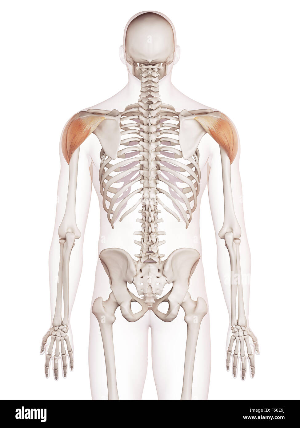 Deltoid Cut Out Stock Images & Pictures - Alamy