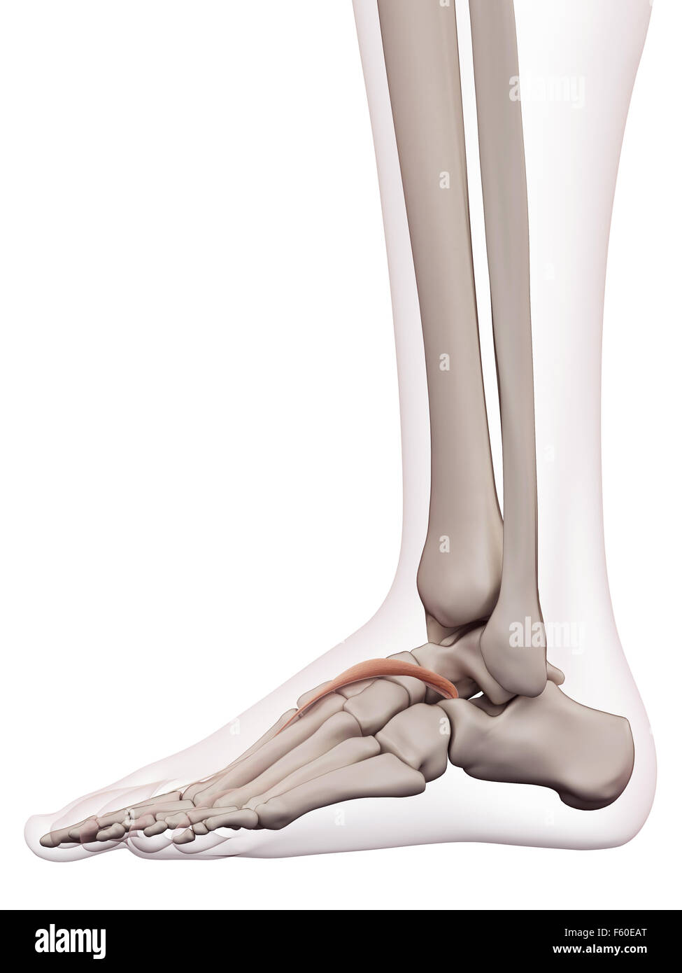 Foot Ankle Bones Anatomy Male Cut Out Stock Images & Pictures - Alamy