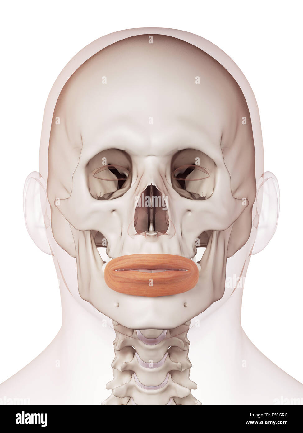 medically accurate muscle illustration of the orbicularis oris Stock Photo