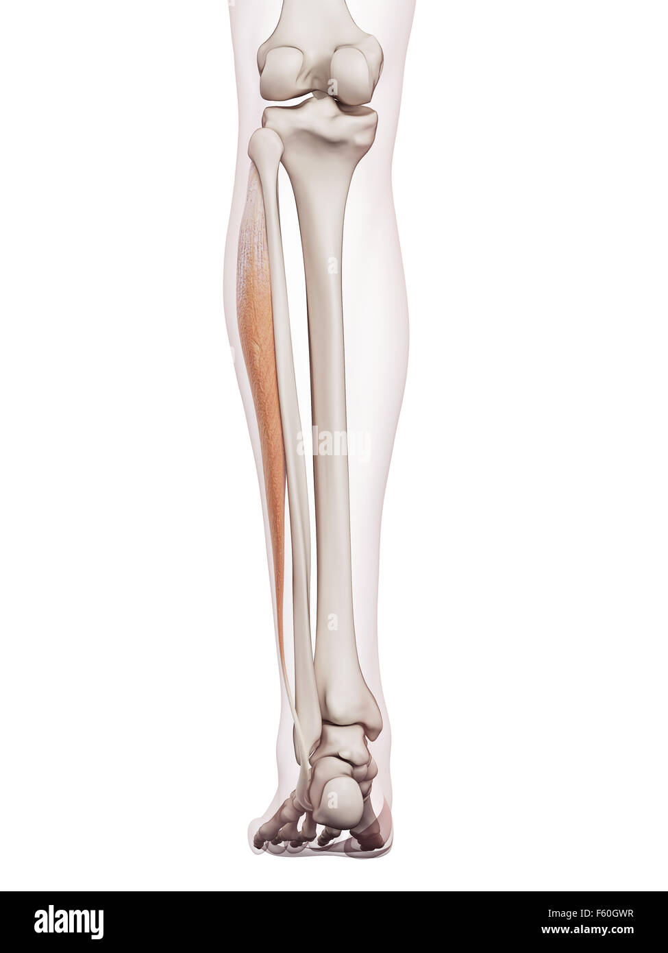 medically accurate muscle illustration of the peroneus longus Stock ...
