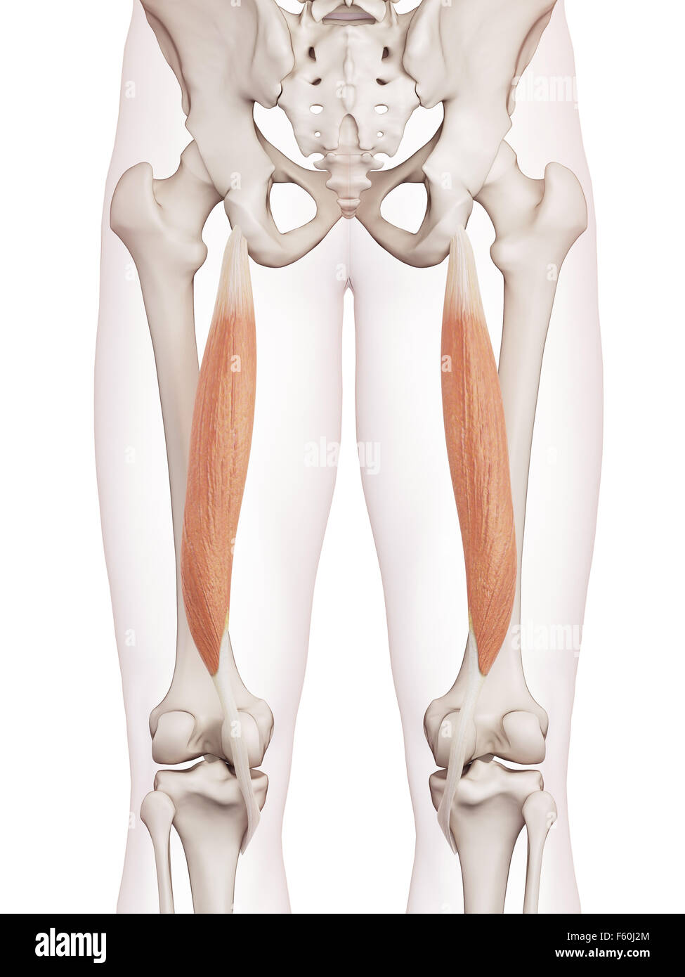 medically accurate muscle illustration of the semitendinosus Stock ...