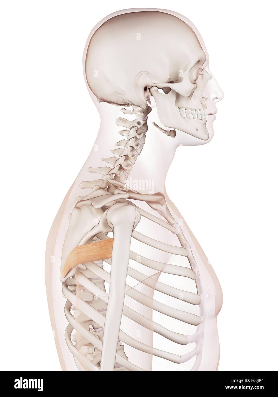 Teres Major Muscle Stock Photos Teres Major Muscle Stock Images