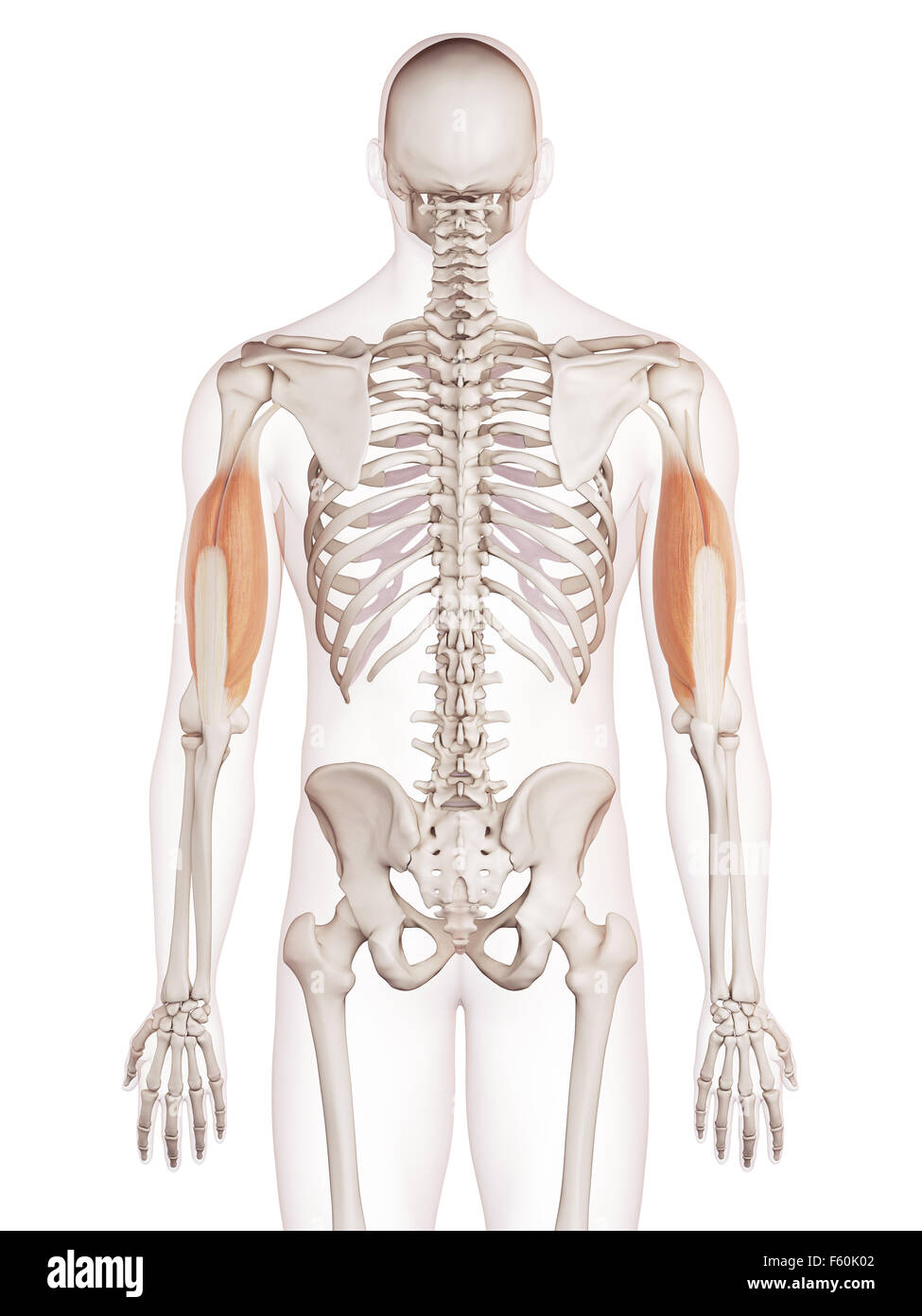 medically accurate muscle illustration of the triceps Stock Photo ...