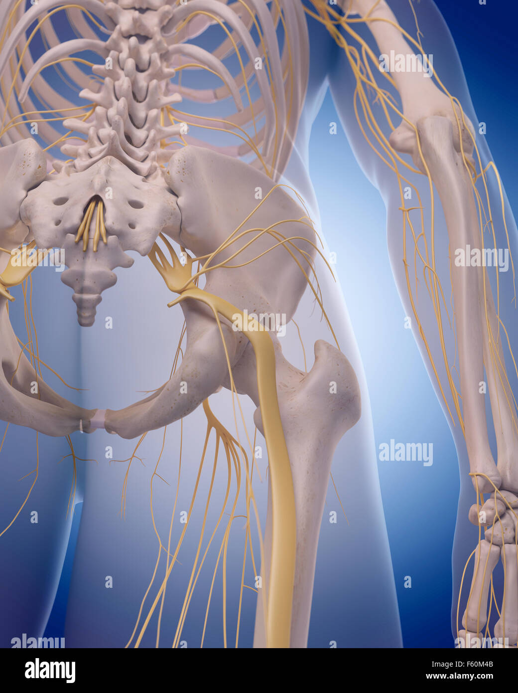 medically accurate illustration -  sciatic nerve - Stock Image