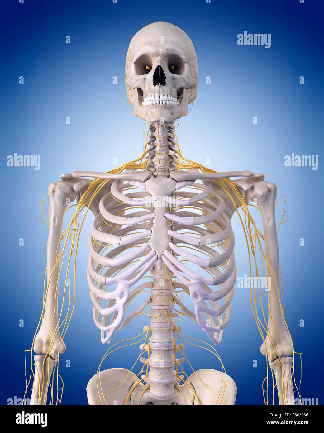 medically accurate illustration - nerves of the  upper body - Stock Image