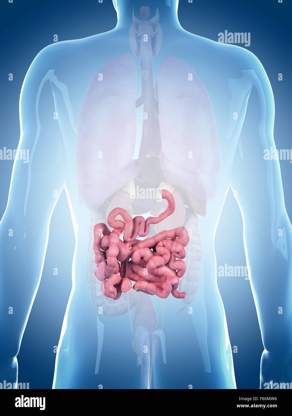 Medically Accurate Illustration Of The Small Intestine Stock Photo