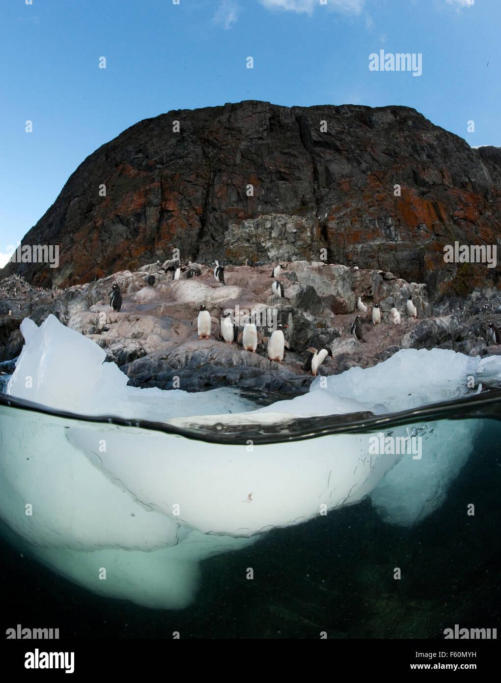 Gentoo Penguin - Stock Image