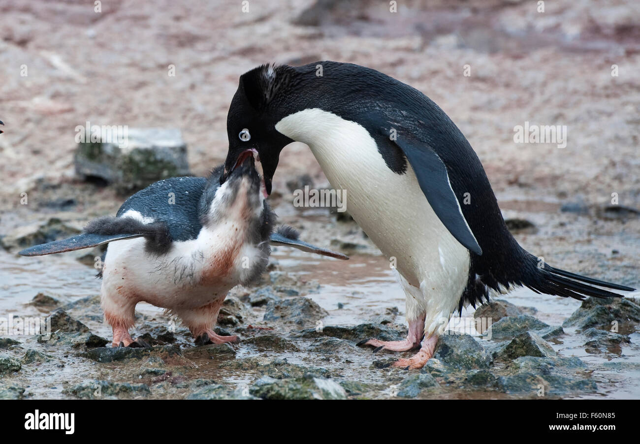 Adelie Penguin and chick - Stock Image