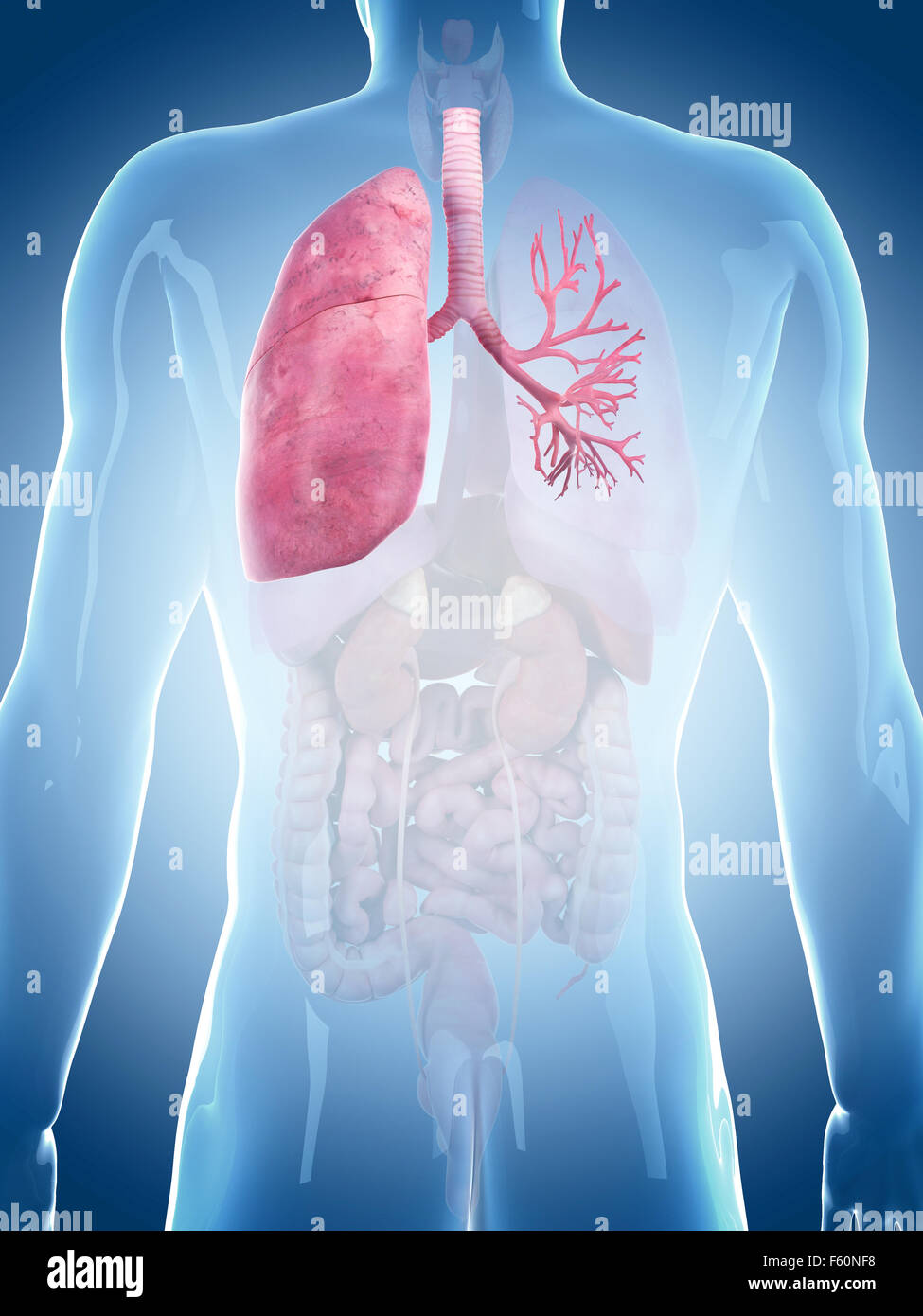 medically accurate illustration of the lung - Stock Image