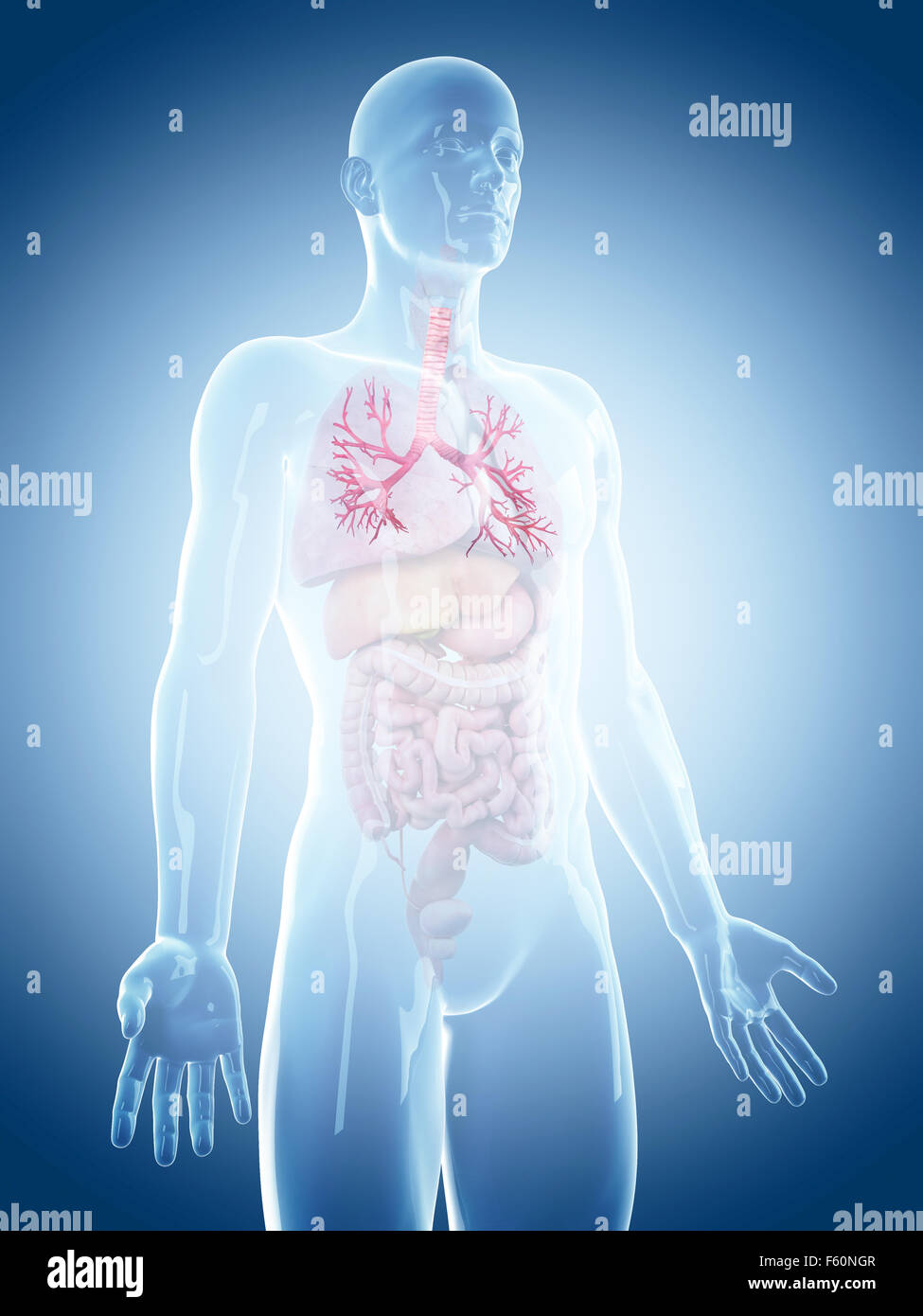 medically accurate illustration of the bronchi - Stock Image