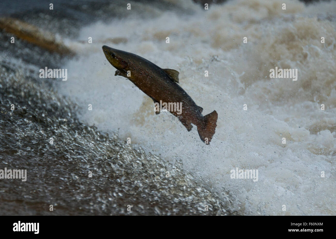 Ettrick Water, Scottish Borders, UK. 10th November, 2015. Salmon Leaping on Ettrick Water on the Philiphaugh Estate - Stock Image