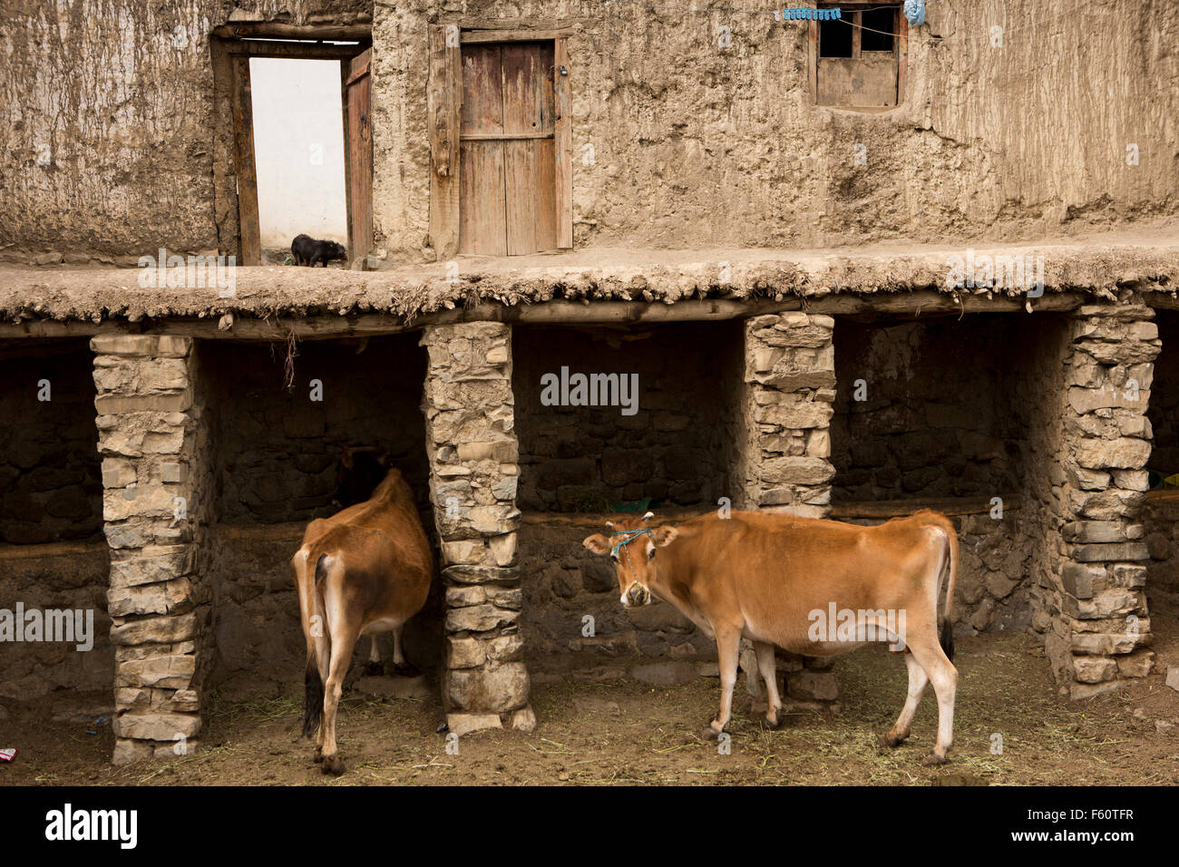 H F Cattle India India, Himachal...