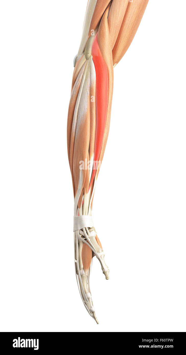 extensor carpi radialis longus muscle stock photos extensor carpi