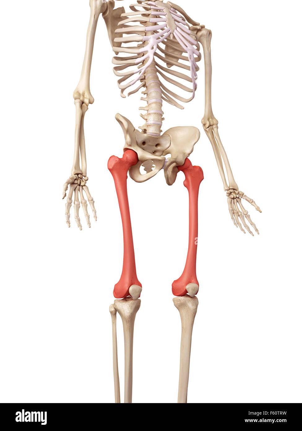 Human Femur Bone Stock Photos & Human Femur Bone Stock Images - Alamy