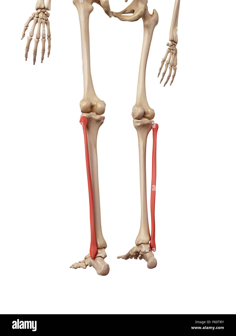 Lower Leg Bone Cut Out Stock Images & Pictures - Alamy