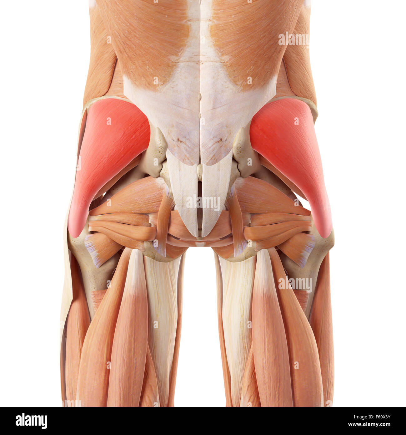 Gluteus Muscle Stock Photos & Gluteus Muscle Stock Images - Alamy