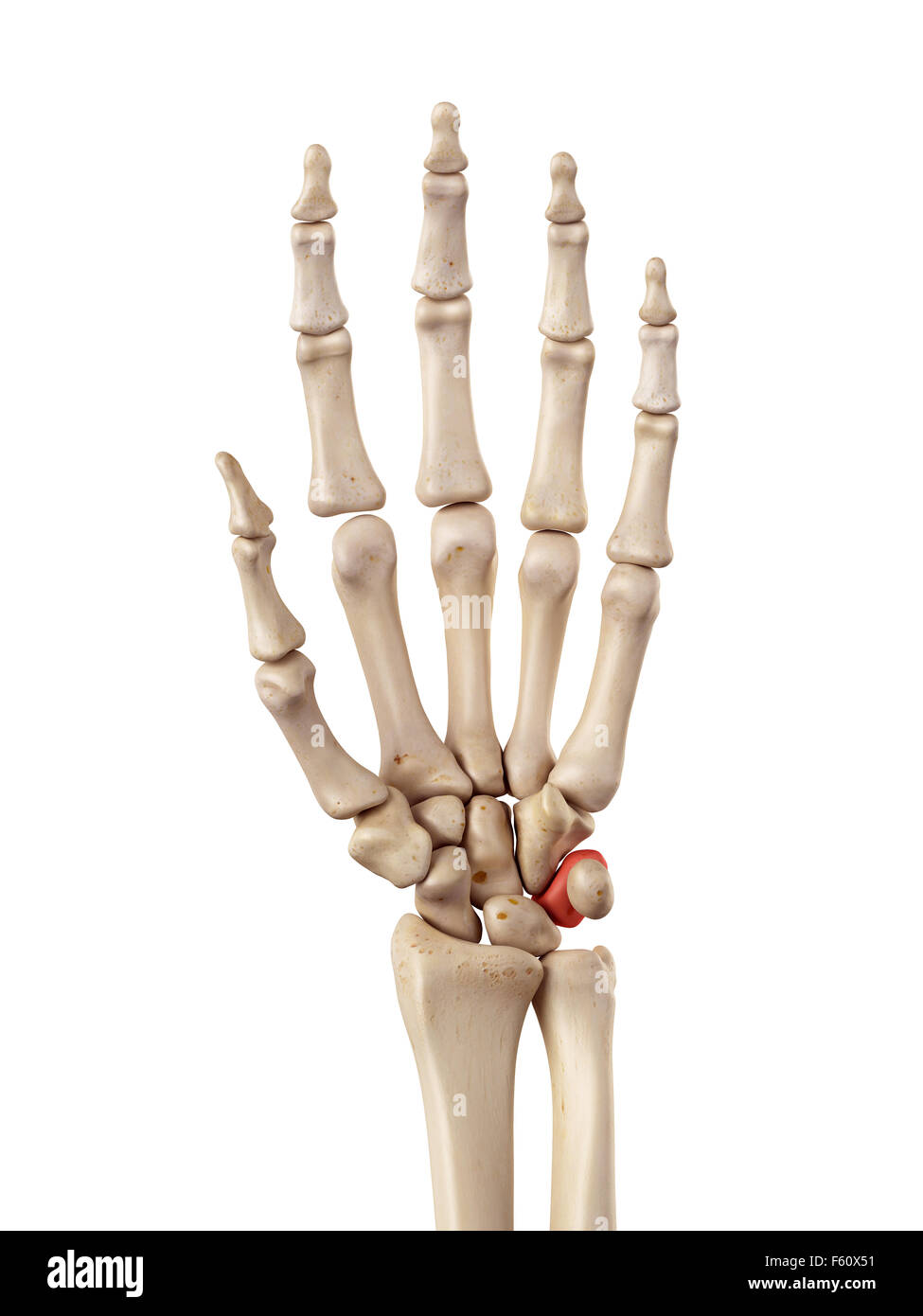 medical accurate illustration of the triquetrum bone - Stock Image