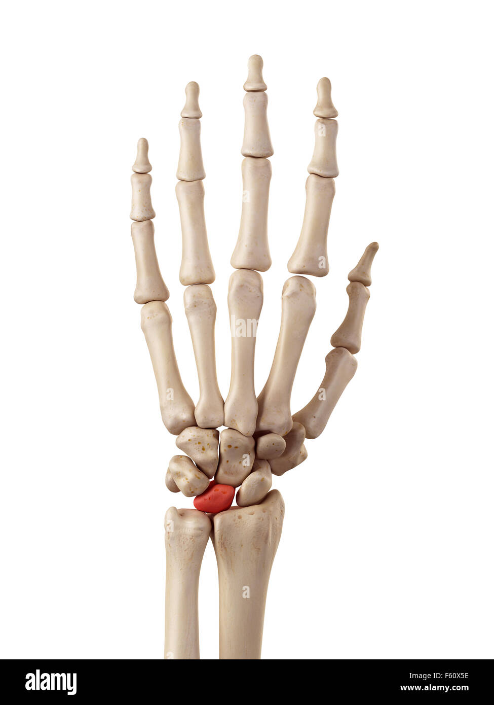 medical accurate illustration of the lunate bone - Stock Image