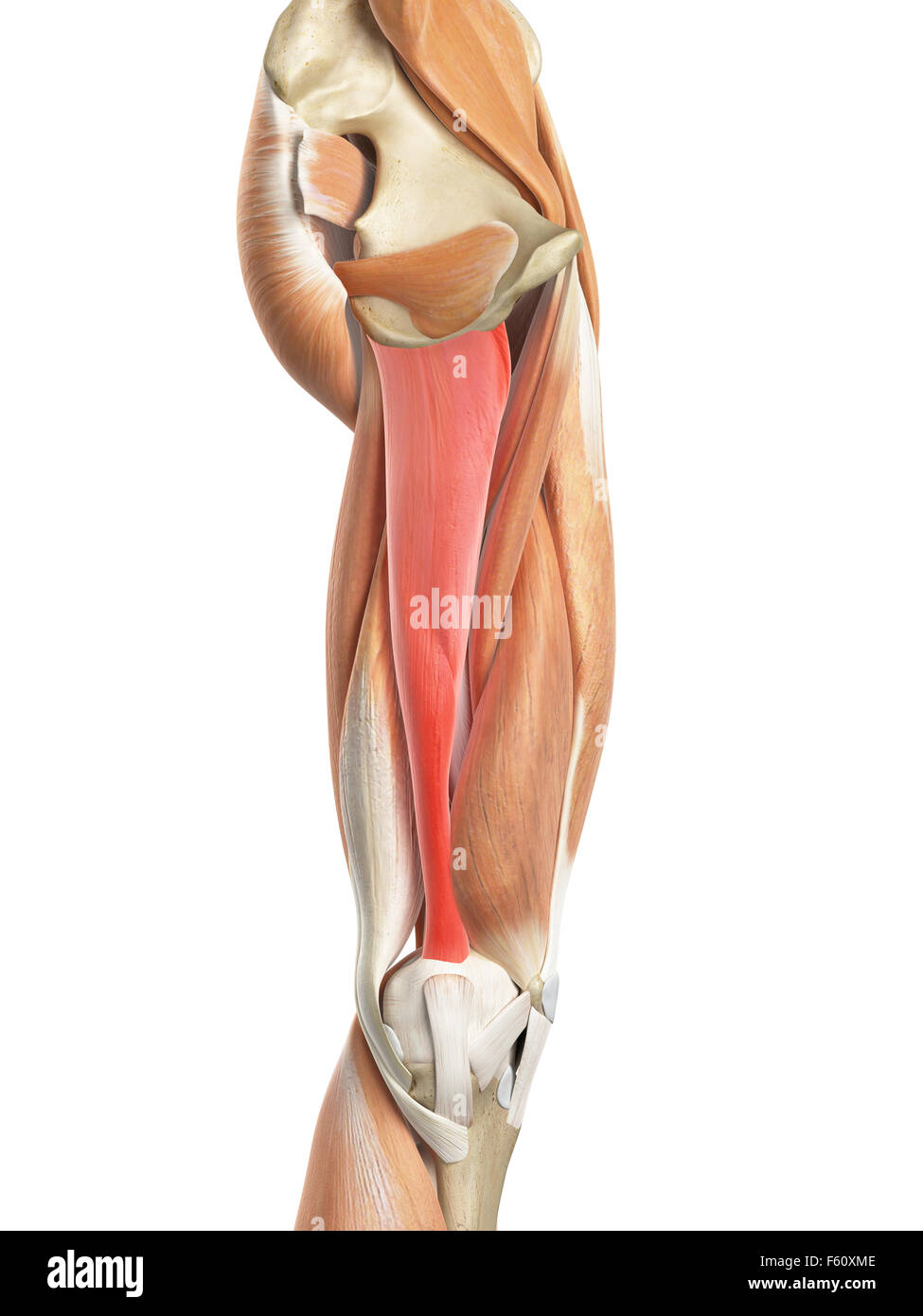 medically accurate illustration of the adductor magnus Stock Photo ...