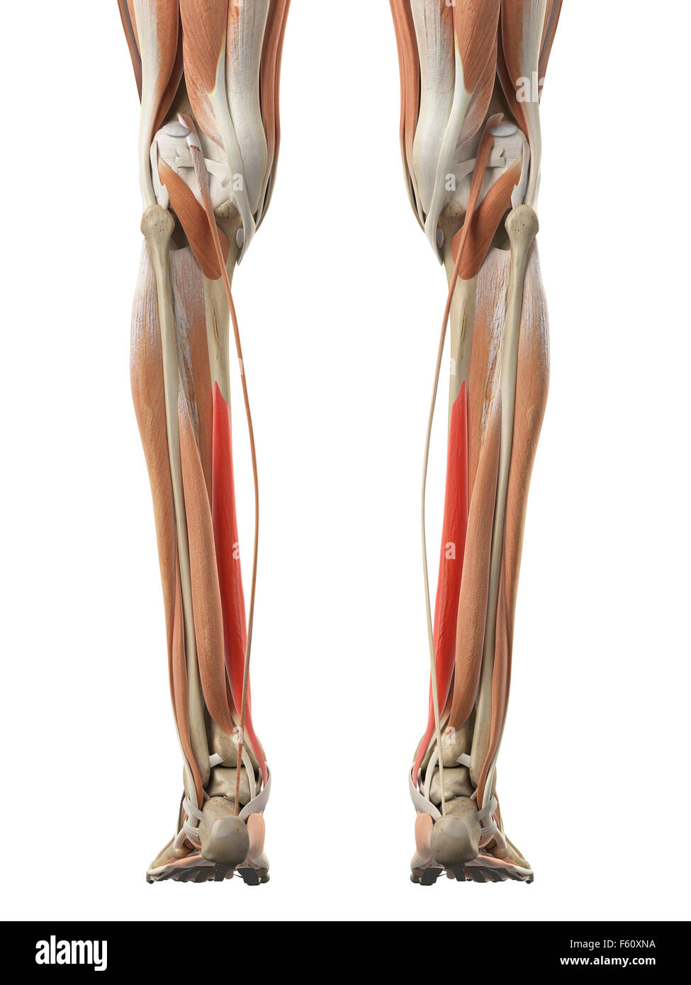 medically accurate illustration of the flexor digitorum longus stock