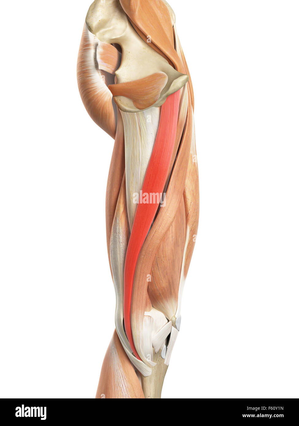 Gracilis Muscle Stock Photos Gracilis Muscle Stock Images Alamy