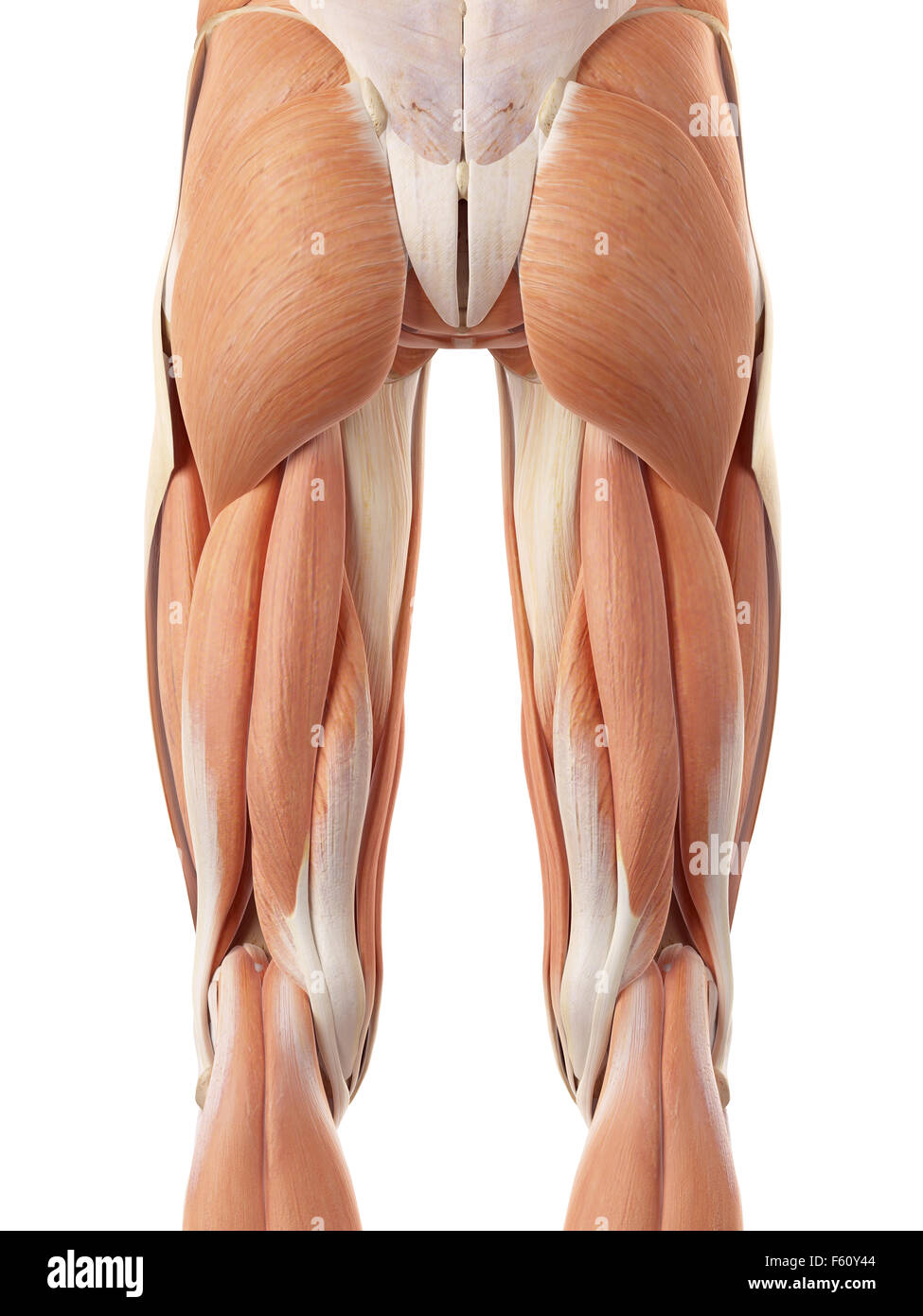 Human Upper Leg Muscles Stock Photos Human Upper Leg Muscles Stock