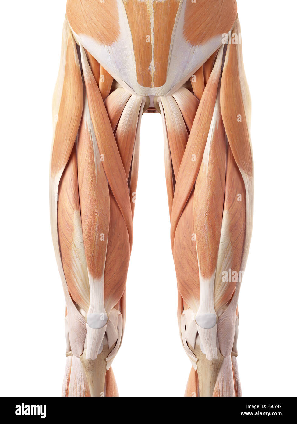 Human Upper Leg Muscles Stock Photos Human Upper Leg Muscles Stock