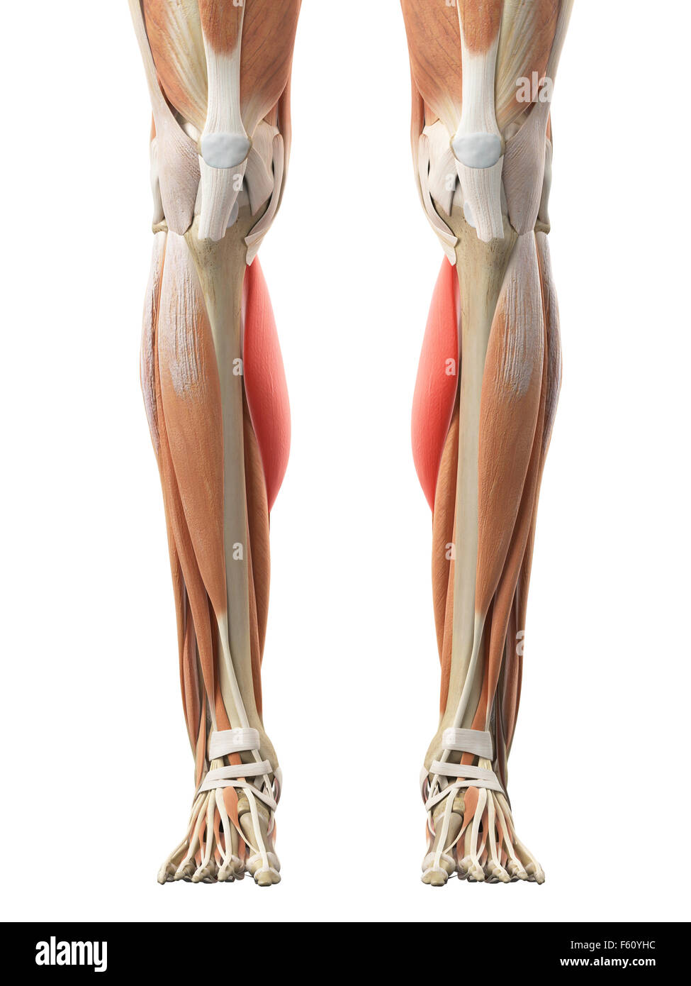 Gastrocnemius Medial Head Stock Photos Gastrocnemius Medial Head