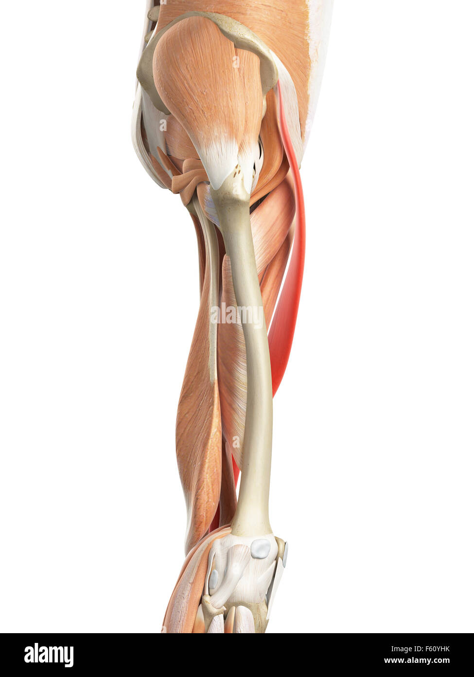 Sartorius Muscle Stock Photos Sartorius Muscle Stock Images Alamy