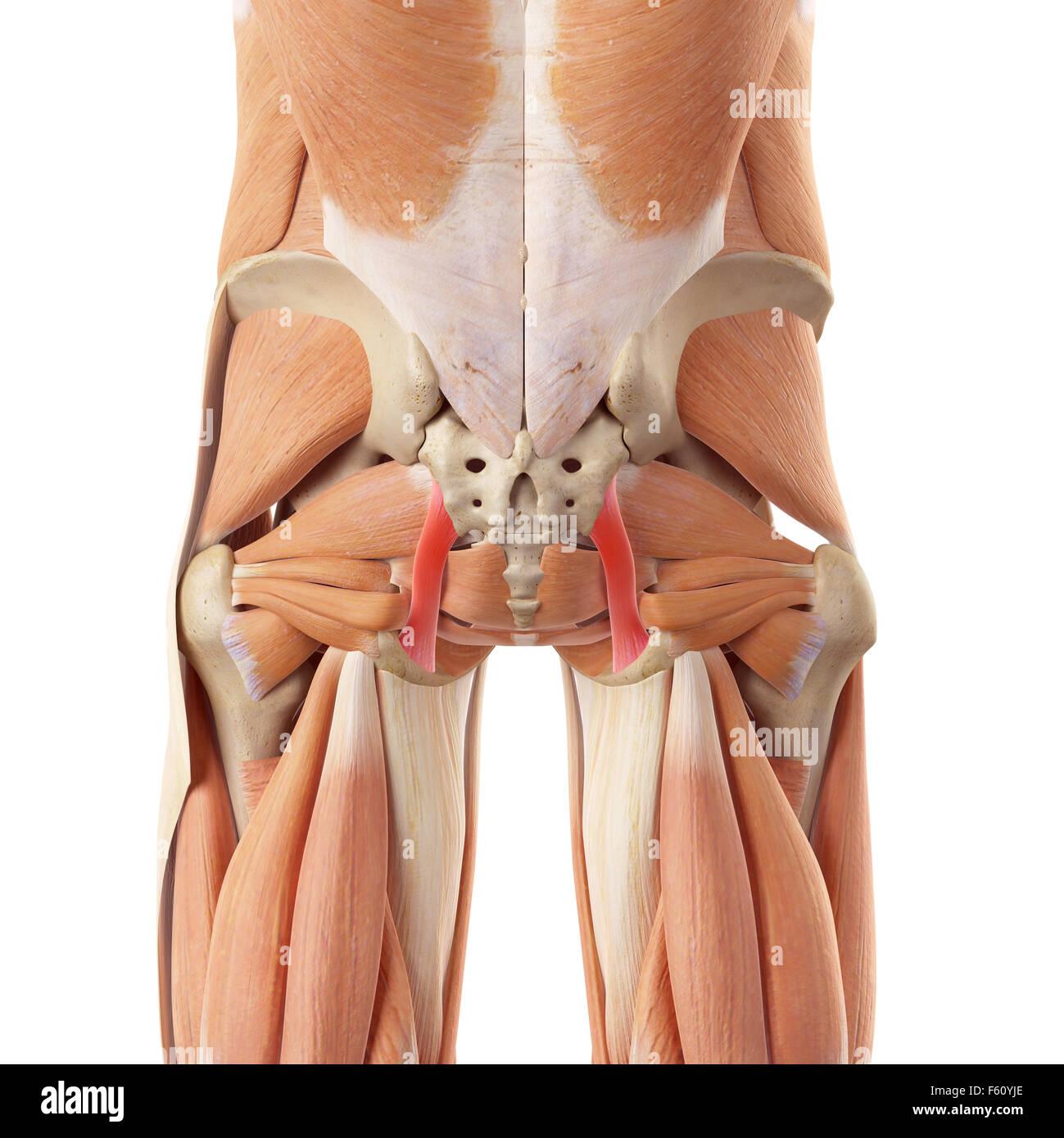 Pelvic Ligament Stock Photos & Pelvic Ligament Stock Images - Alamy