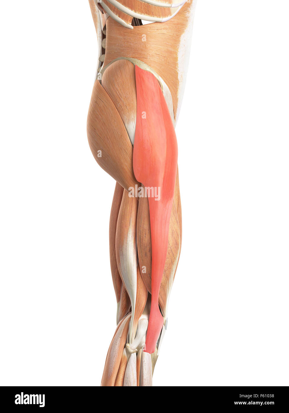 Illustration Fascia Lata Muscle Stock Photos & Illustration Fascia ...