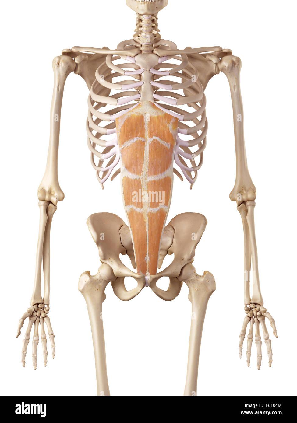 Berühmt Rektusabdominis Galerie - Menschliche Anatomie Bilder ...